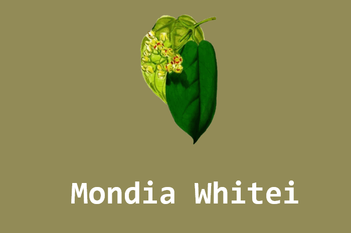 Ugandyjska Mondia Whitei