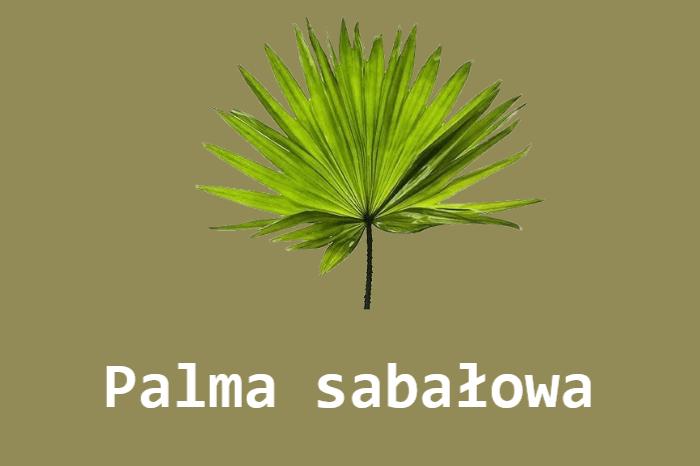 Palma sabałowa na erekcję